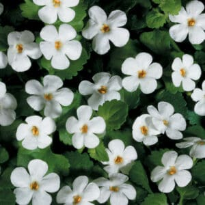 bacopa snowstorm white