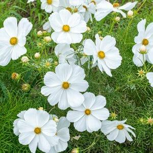 cosmos_sonata_white_seeds
