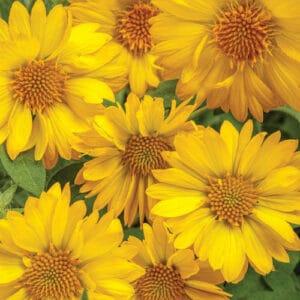 gaillardia_heat_it_up_yellow