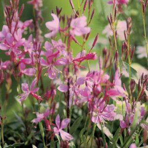 gaura-karalee-petite-pink-full-425x425