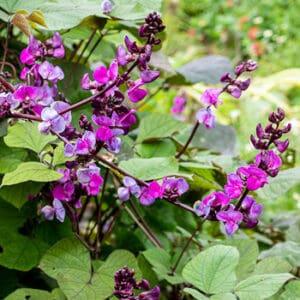 hyacinth_bean_ruby_moon_seeds