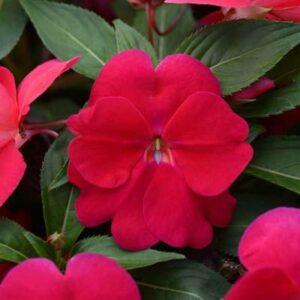 Divine Lipstick New Guinea Impatiens Color Code: PMS 193 PAS Kieft 2017 Bloom, Seed 08.15 Santa Paula, Mark Widhalm DivineLipstick_02.JPG IMP15-19712.JPG
