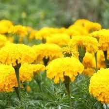 marigold crackerjack yellow