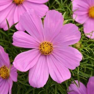 sonata pink cosmos