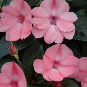 sunpatiens blush pink