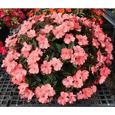 sunpatiens coral pink