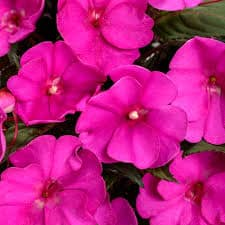 sunpatiens purple