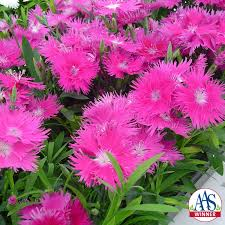 supra purple dianthus